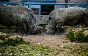 Two Rhino go to Battle